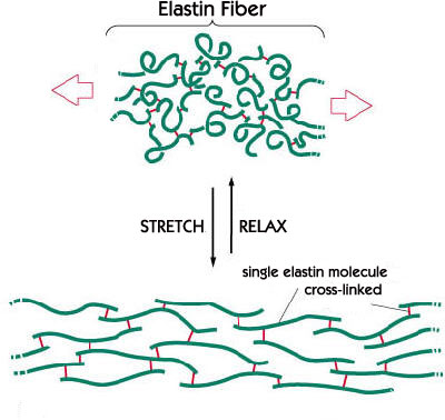 Drawing of Elastin Fiber and how it stretches and relaxes - Single elastin molecule is cross-linked
