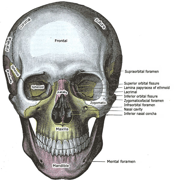 Anatomy of a Human Skull - Front View