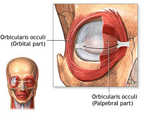 Orbicularis Occuli Muscle