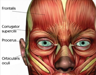Anatomy of Forehead or Brow Muscles