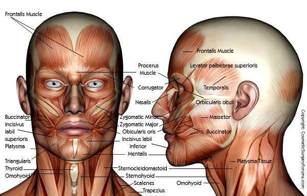 Facial Plastic Surgery Anatomy Of The Face And Neck On