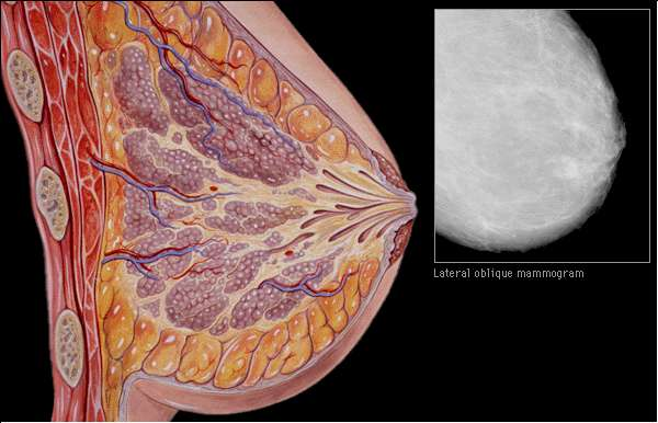 interactive breast anatomy