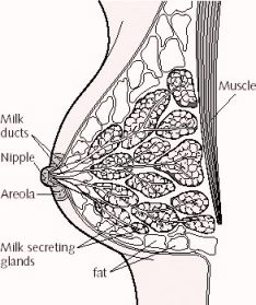 Image and cross section of a female breast showing milk ducts, nipple, areola, milk secreting glands, fat, and muscle