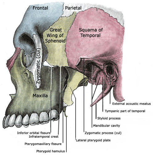 Anatomy of a Human Skull - Side View